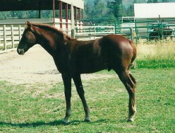 Noble-T Red Deacon (owned by Laura Lang)